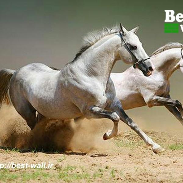 عکس دیواری طرح اسب