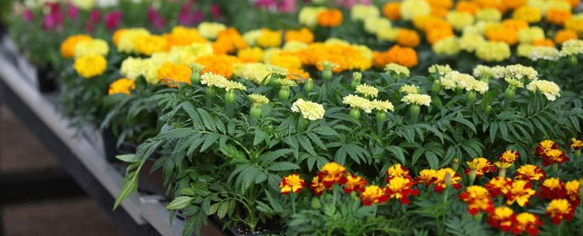 گیاهان زینتی (تزئینی)
